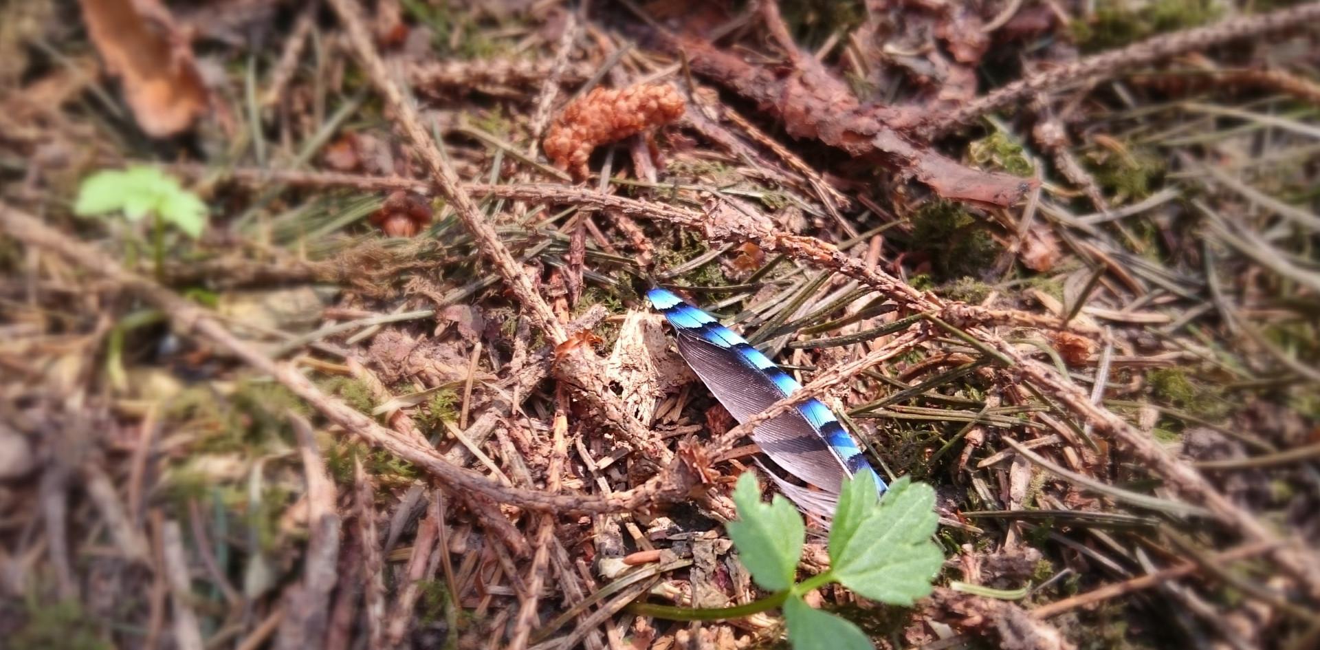Meine erste sogenannte Glücksfeder fand ich wirklich nur durch einen Zufall. An einem sonnigen Tag schlenderte ich durch einen mir unbekannten Wald und musste einen meiner Schnürsenkel binden. In diesem Moment sah ich gut einen Meter vor mir am Waldboden diese wunderschöne Feder eines Eichelhähers. Was für ein Glück!