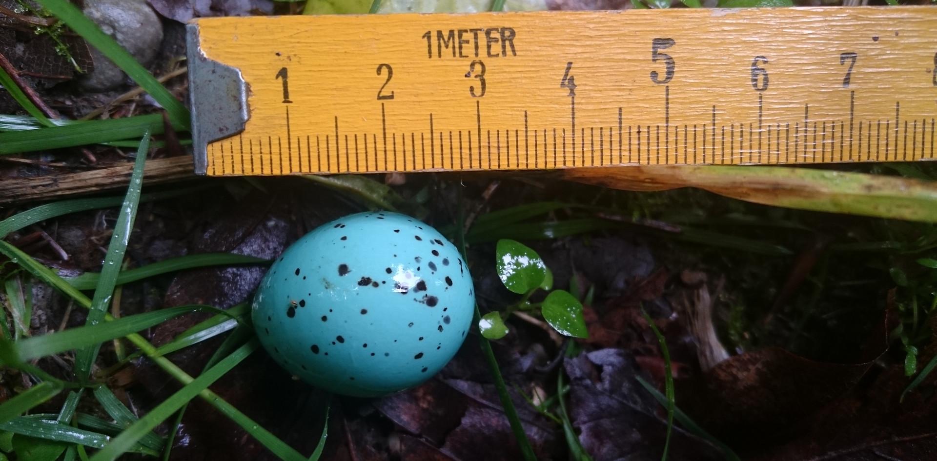 Das Ei einer Singdrossel. Gefunden auf dem Waldboden. Von dem Nest war weit und breit nichts zu sehen.