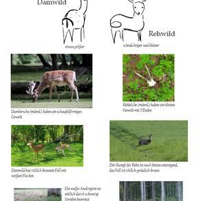 Der Unterschied zwischen Dam- und Rehwild