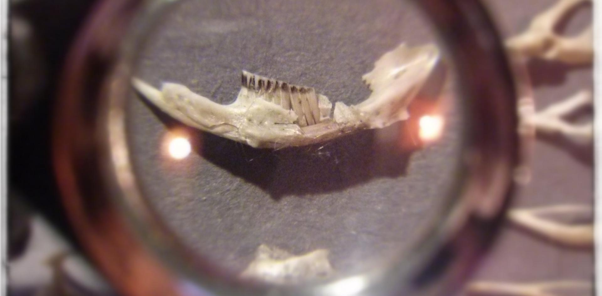 Der Inhalt von Gewöllen ist oft sehr aufschlußreich. Oft gibt es interessante Einblicke in die Welt der kleinen Nager.