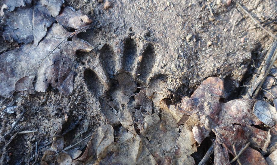 Das Trittsiegel von einem Waschbären. Es sieht aus wie eine kleine Kinderhand.