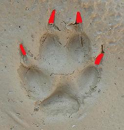 Bestimmungshilfe Fuchsspur oder Hundespu