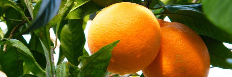 Arancio di Sorrento