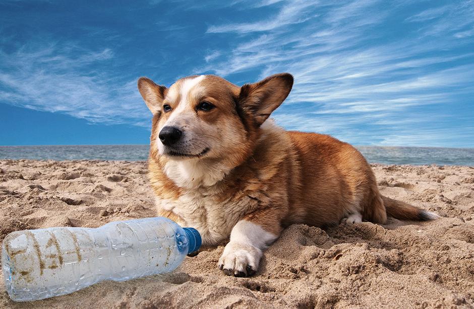 Corgi dog on a beach with a plastic bottle