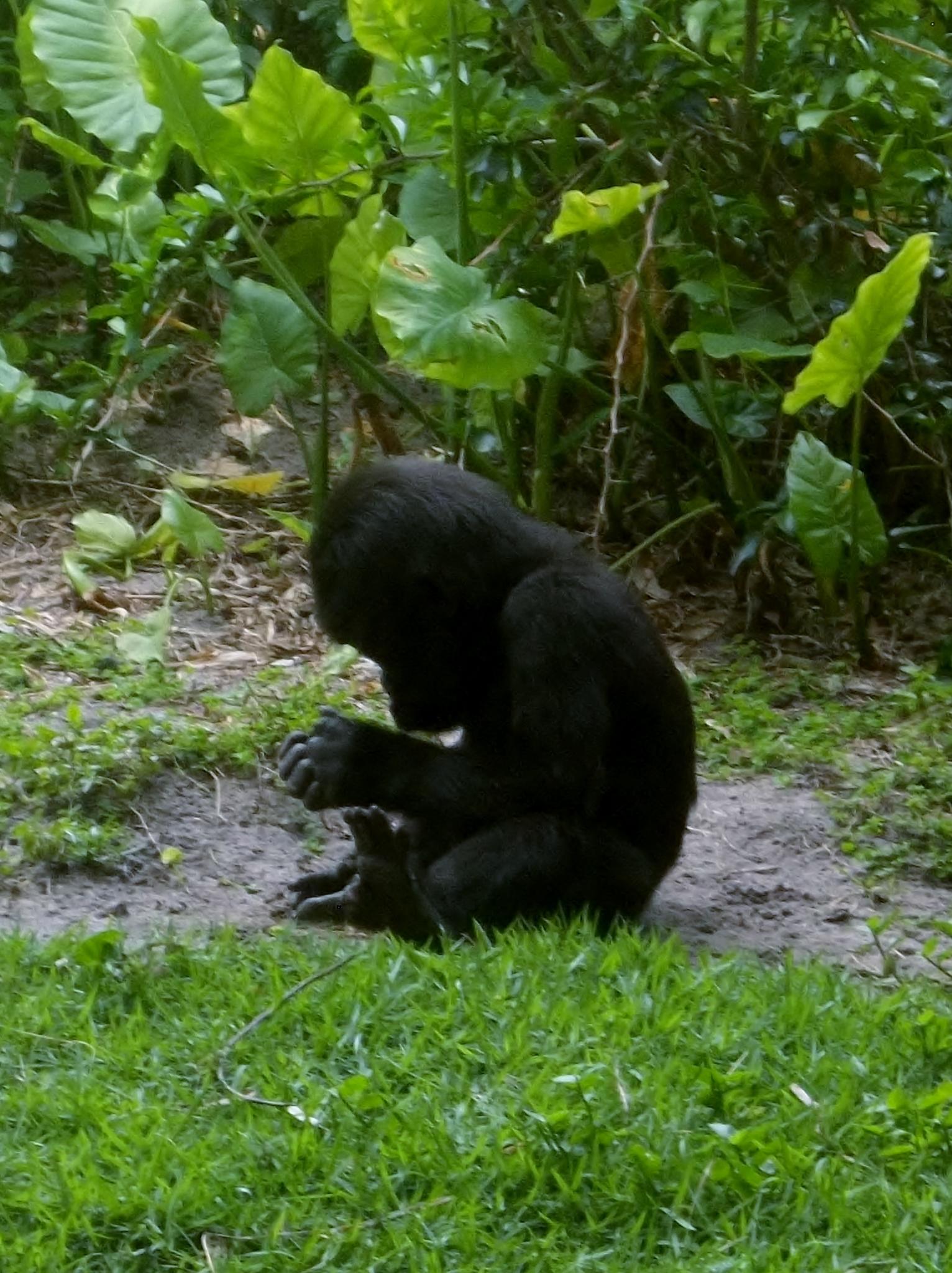 Baby Gorillla.JPG