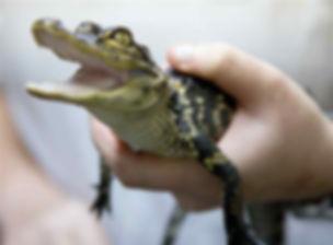 baby-alligator-3.jpg
