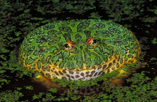 ornate_horned_frog_lg