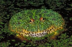 ornate_horned_frog_lg