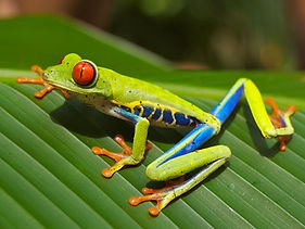 Red_eyed_tree_frog_edit2.jpg