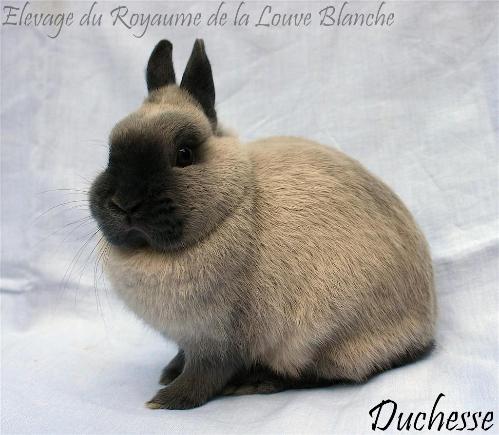 Duchesse03.jpg