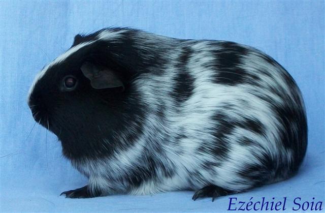 Cobaye Ezechiel_f dalmatien noir.JPG