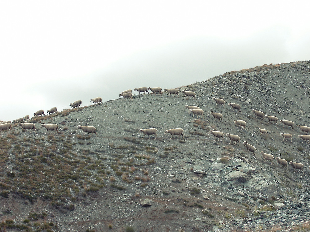 Sheep scattered on the hillside