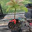 Thumbnail: Grafted Avocado Tree  (1 Gallon)