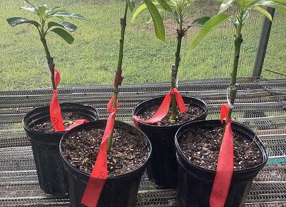 Grafted Mango Tree (1 Gallon)