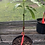 Thumbnail: Grafted Mango Tree (1 Gallon)