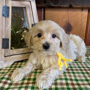 Doodles | Puppies Up North