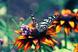 Butterfly on FlowersWeb copy
