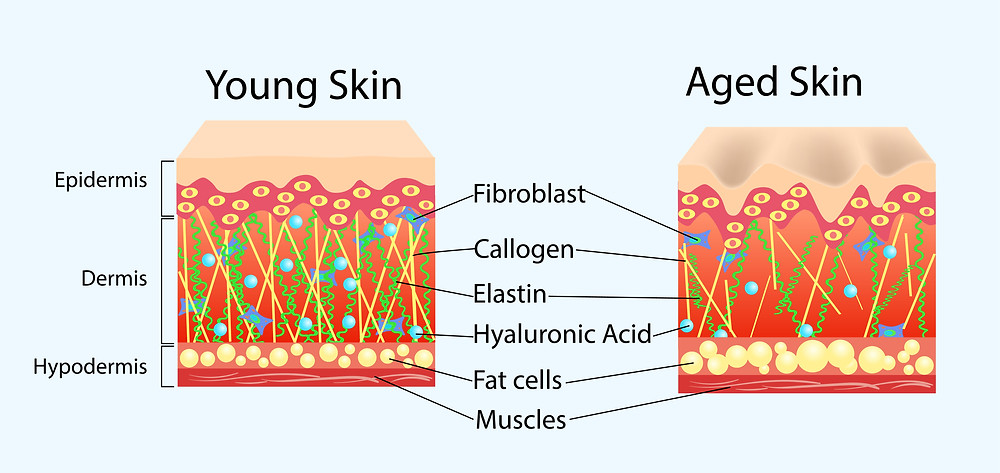 Comparison between young skin and aged skin