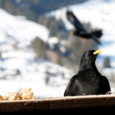 Alpine Choughs on the balcony
