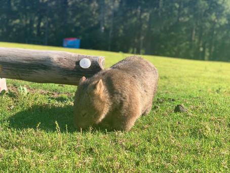 Australijski Wombat