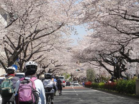 HANAMI, Cherry Blossom Ride (3/27 - 4/7)