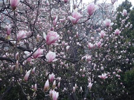 Magnolia, a week before cherry blossom