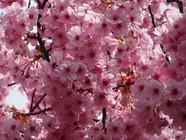桜は密がいいのです