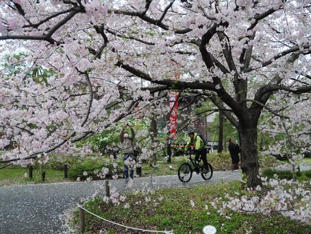 3/27 - 4/7  HANAMI, the Cherry blossom ride