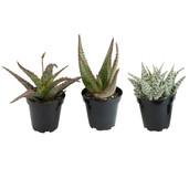 Assorted Aloe