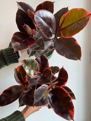 FICUS ELASTICA 'RUBY'--RUBBER TREE