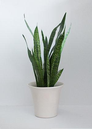 LARGE SNAKE PLANT + CERAMIC POT