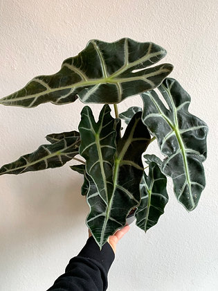 ALOCASIA 'AFRICAN MASK'