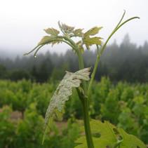 mt veeder vineyard 2009 (7).JPG