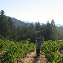 Harvest Mt Veeder 2009.JPG