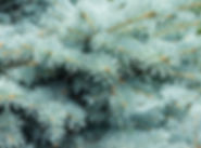 col blue spruce.jpg