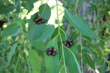 Buffalo Horn Monarchs