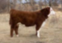 907 bull.jpg