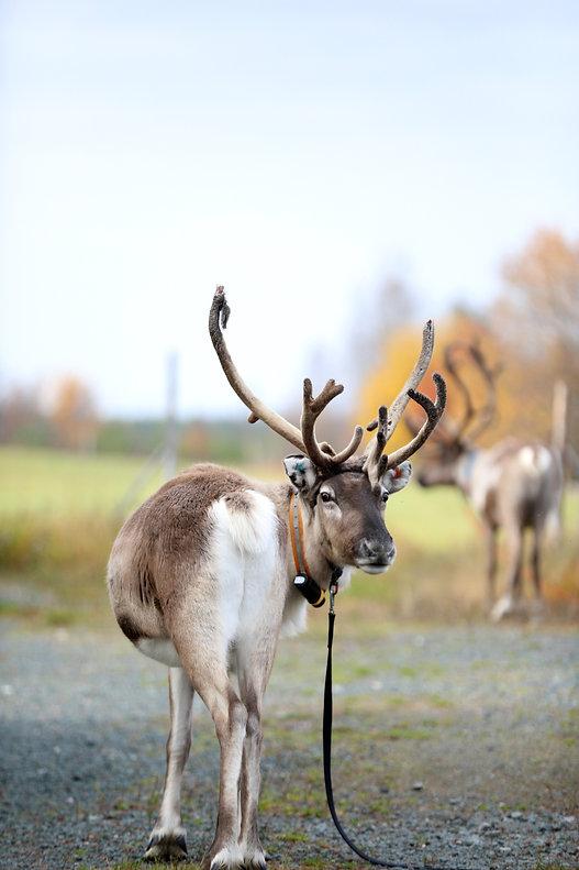 Rainbow reindeer.jpg