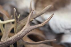 reindeer antler
