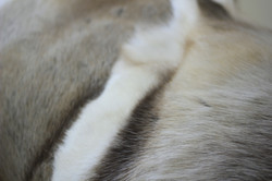 reindeer hide