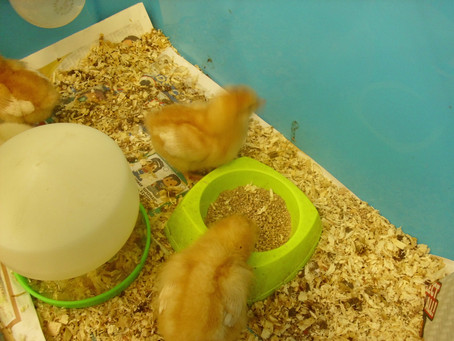 We are in love with the little chicks