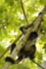Proyecto ateles, mono araña