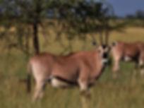 oryx-awash-national-park-ethiopia.jpg