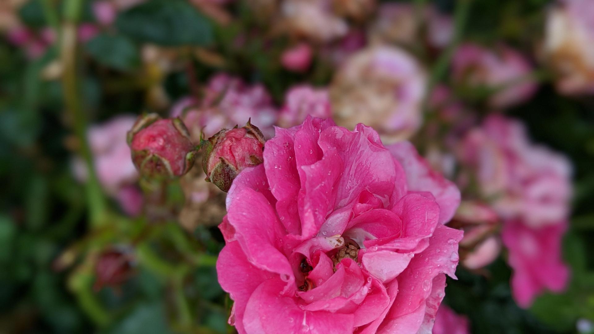Rosas por Carolina Schäffer