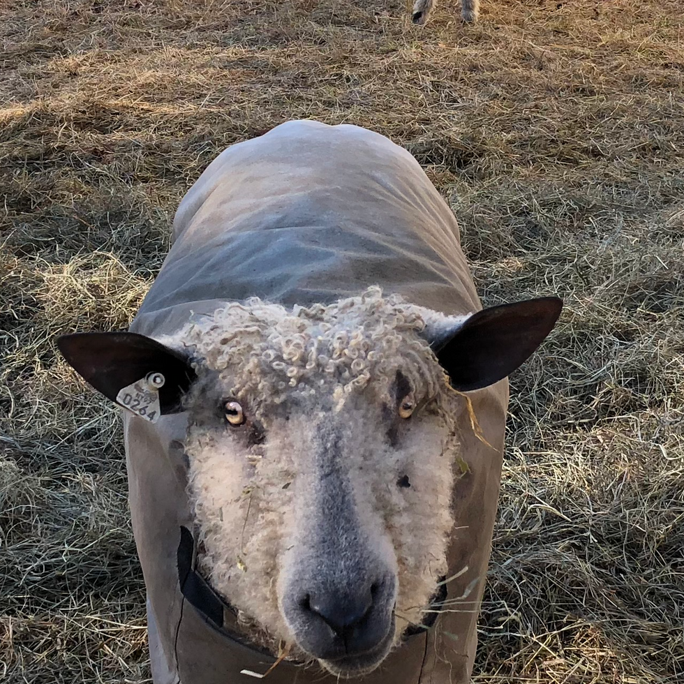 Sheep for site  1.png
