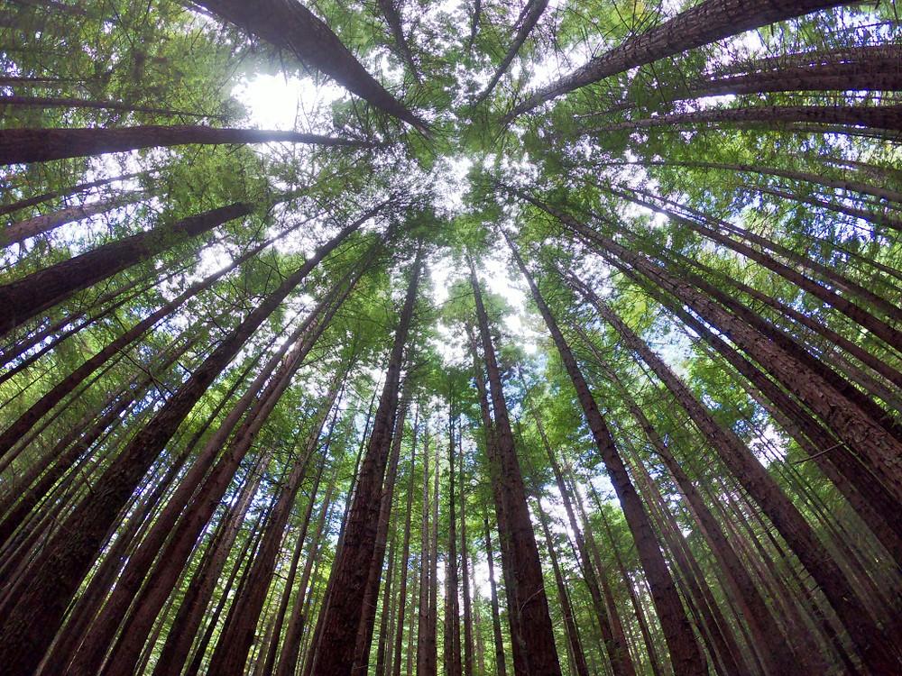 """""""(...) Redwoods park con i suoi alberi altissimi e fitti che proietta in un labirinto naturale"""", NZ. PH Gian Marco S."""