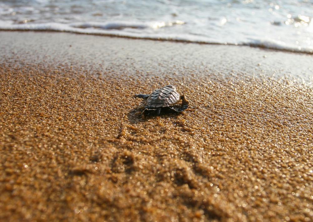 Una tartarughina che entra in mare, probabilmente per la prima volta.  Immagine presa dal web
