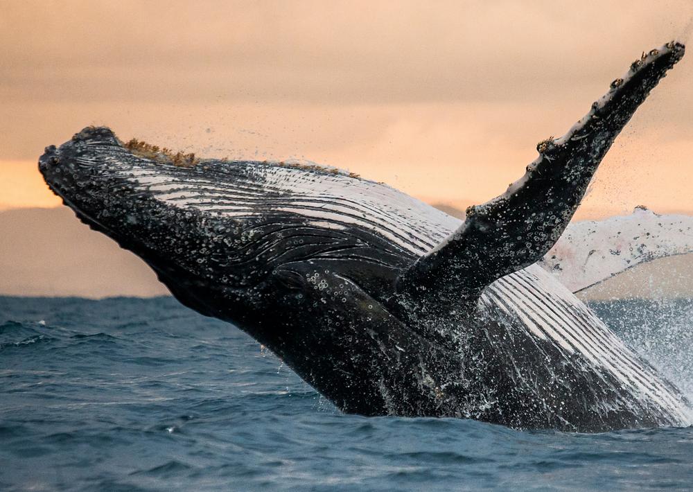 Una balena che fuoriesce dall'acqua. Immagine presa dal web