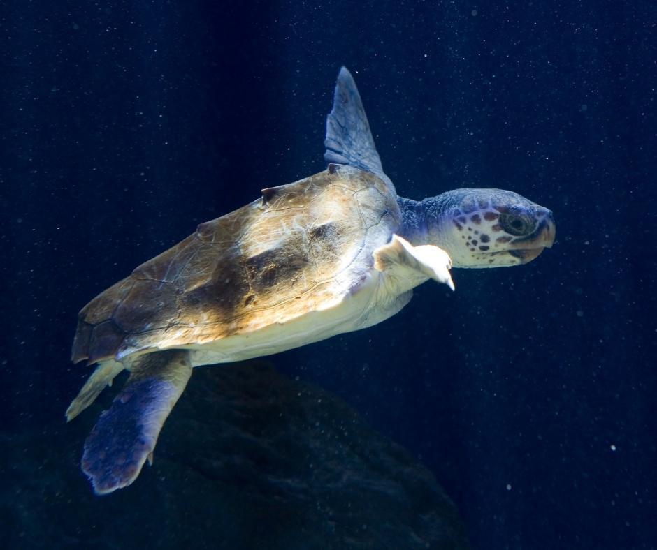 Una tartaruga marina caretta caretta, una delle specie che cerchiamo di sostenere attraverso i nostri viaggi di gruppo solidali. Viaggiando con noi, contribuisci ad una donazione annuale a fondazione cetacea, centro di recupero per tartarughe marine, cetacei e squali.
