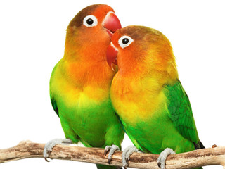 desktop-lovebirds-images.jpg